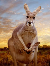 Kangaroo, A Love-Hate Story - VM 15